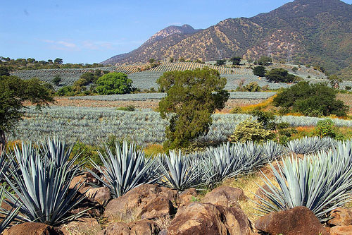Nurtured Agave Plant For The Best Beverage In Tequila, Jalisco