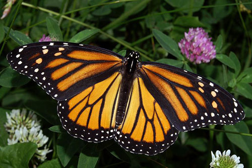 http://www.mexicovacationtravels.com/wp-content/uploads/2008/06/monarch-butterfly-female.jpg