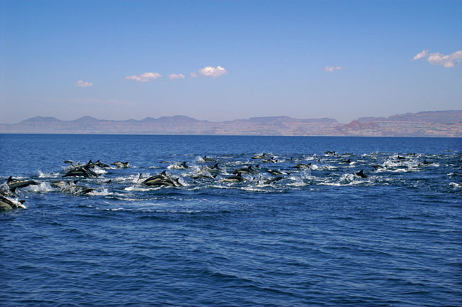 Dolphins at Isla de Espiritu Santo