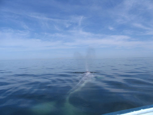 Whale Watching  In Perfect Coast Of Magdalena Bay