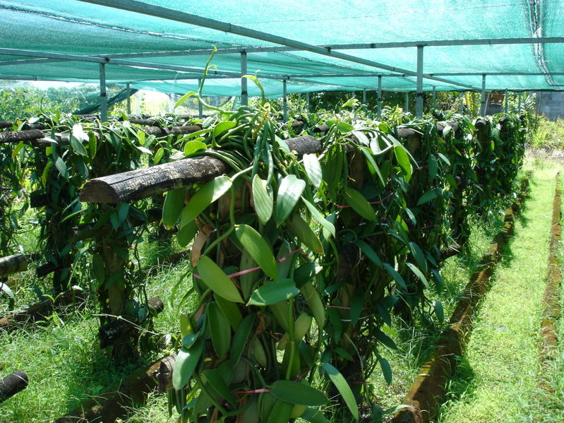Vanilla nursery (photo courtesy of WIkimedia)