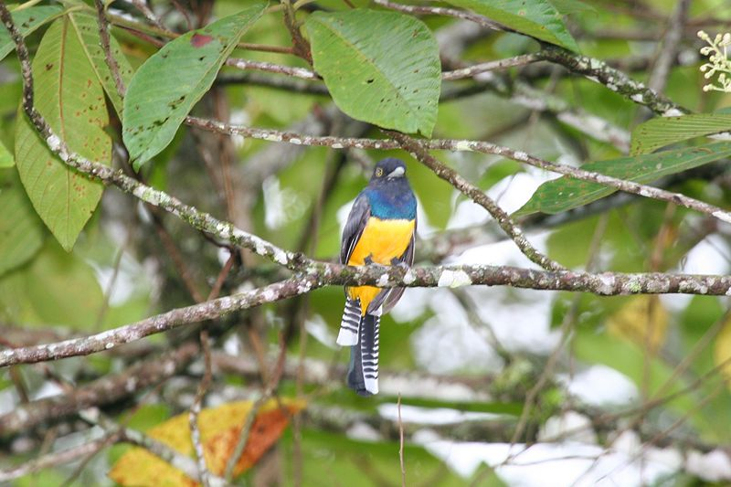 Violaceous Trogon (photo by Dominic Sherony courtesy of Wikimedia)