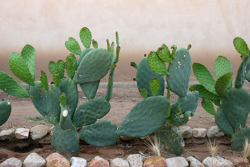 Nopales (photo by fontplaydotcom courtesy of Flickr)