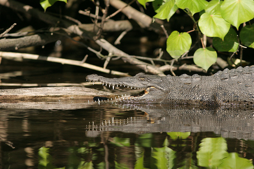 Crocodile (CC photo by Ehoyer courtesy of Flickr)