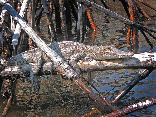 Crocodiles in Mexcaltitan
