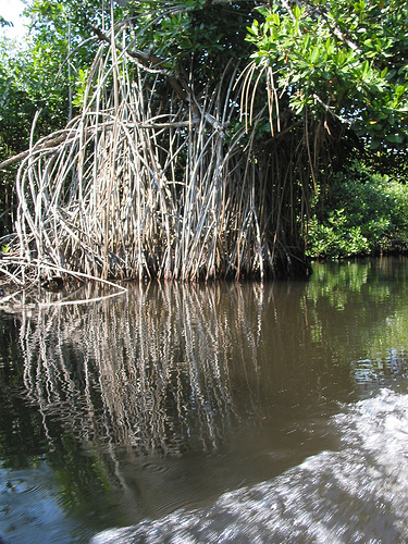 Mangrove roots in Mexcaltitan