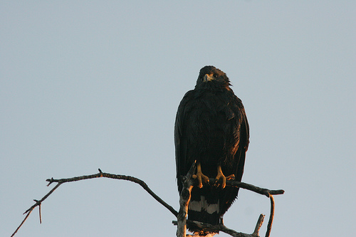 Solitary Eagle (CC photo by Ehoyer courtesy of Flickr)