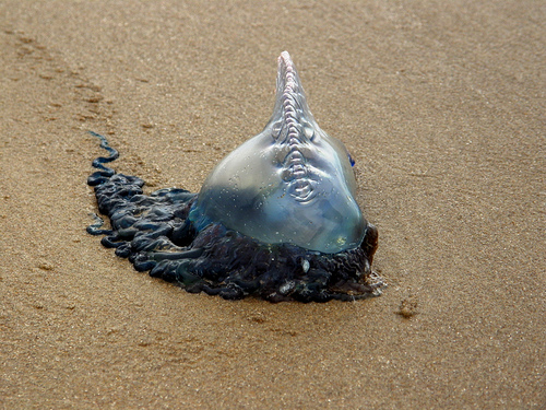 Some Facts about Jellyfish in Mexico - Potuguese Man-of-War